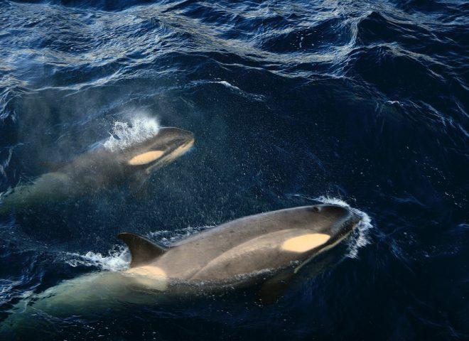 Orcas. Fuente: Valeria Falabella.