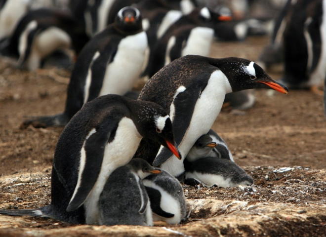 Penguino de Adelia. Fuente: Valeria Falabella.