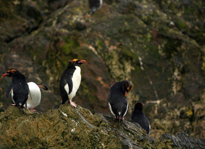 Pinguino Macaroni. Fuente: Valeria Falabella.