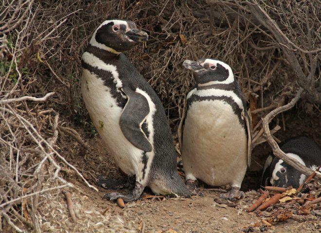 Pinguino Magallanes II. Fuente: Valeria Falabella.
