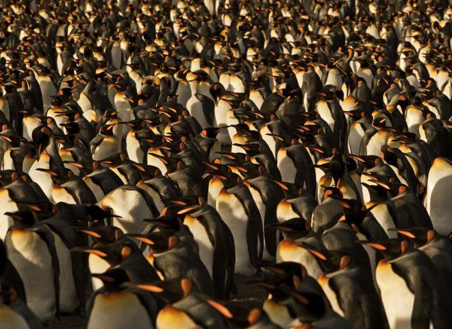 Pinguino Rey. Gentileza FALABELLA, Valeria.