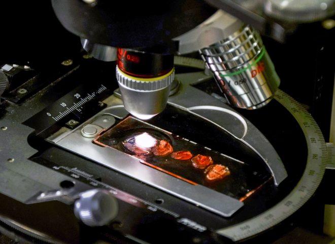 Langostino – microscopio. Gentileza INIDEP.